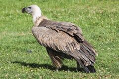 vulture Immagine Stock