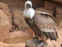 vulture Immagini Stock