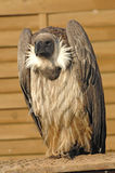 Vulture Royalty Free Stock Images