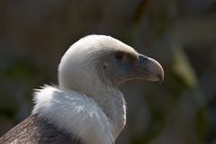 Vulture. Griffon vulture Royalty Free Stock Image