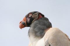 Vulture. Head shot taken at the wild life worl zoo, Arizona Royalty Free Stock Photo