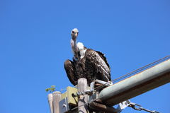 vulture Fotos de Stock