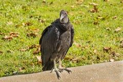 vulture Fotografia Stock Libera da Diritti
