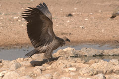 vulture Fotos de Stock Royalty Free
