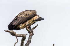 vulture Imagens de Stock Royalty Free