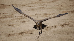 Vulture. In fly Stock Image