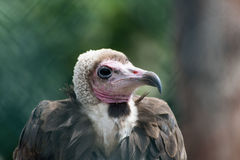 Vulture Accipitridae. A portrait of a Vulture royalty free stock photo
