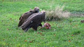 Vulture aegypius monachus feeding on the ground