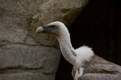 Vulture 2 Royalty Free Stock Images