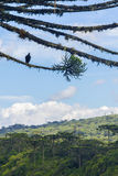 Vulture at an Araucaria angustifolia forest at Itaimbezinho Cany Royalty Free Stock Photo