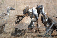 Vulture attack Royalty Free Stock Photos
