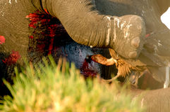 Vulture attack Elephant. In Chobe Royalty Free Stock Photos
