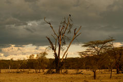 Vulture awaiting prey on dead African tree (Kenya). Vulture looking for prey perched on a dead tree in Africa (Kenya). Stormy clouds behind matching the evil stock images