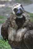 Vulture baby Royalty Free Stock Photography