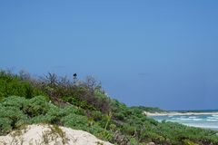Vulture on beach. A vulture at a Cozumel beach watches for baby turtles to snatch Royalty Free Stock Photos