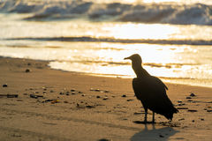 Vulture on a Beach Stock Image