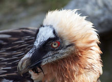 Vulture bird Royalty Free Stock Images