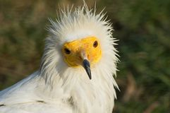 Vulture bird royalty free stock image