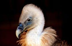 Vulture, Bird, Bird Of Prey Royalty Free Stock Images