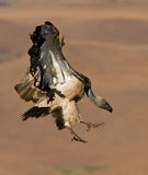 Vulture bird in flight Stock Photo