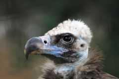 Vulture bird head Stock Photography