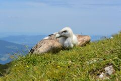 Vulture bird on hillside Royalty Free Stock Images