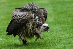 Vulture, Bird Of Prey, Bird, Nature Royalty Free Stock Photos