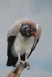 Vulture Bird of Prey on a Dead Tree Perch Stock Photos