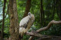 Vulture bird. In chiangmai night safari zoo Royalty Free Stock Photos
