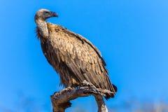 Vulture Bird Wildlife Royalty Free Stock Photo