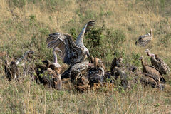 Vulture birds are eating their prey Royalty Free Stock Photo