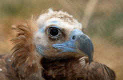 Vulture with blue face. Portrait of a vulture stock images