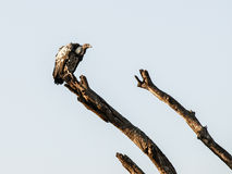 Vulture on the branche Stock Photography