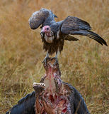 Vulture on Buffalo kill (Hooded Vulture). This vulture was photographed sitting on the remains of a buffalo kill. Hooded vultures cannot compete with other Royalty Free Stock Photo