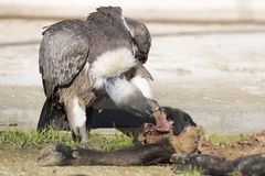 Vulture buzzard while eating a dead animal Stock Image