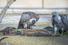 Vulture buzzard while eating a dead animal Stock Images