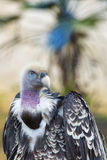 vulture, buzzard looking at you Stock Photo