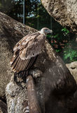Vulture in cage at the zoo Royalty Free Stock Image