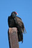 Vulture - California Turkey. Front view of California Turkey Vulture perched on a rusted fence post stock photos