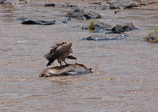 Vulture on carcase in the Mara River. Vulture feeding on wildebeest carcase in the Mara River, Kenya Royalty Free Stock Photos