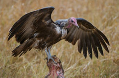 Vulture on carcass. This vulture was photographed in the Kruger national Park standing on a Buffalo carcass Royalty Free Stock Photos