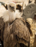 Vulture in a cemetery Royalty Free Stock Images