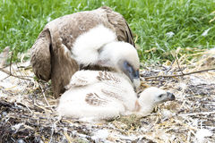 Vulture with chick Stock Photography