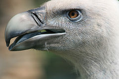 The Vulture,Close Up. The Vulture In Zoo,Close Up Stock Images