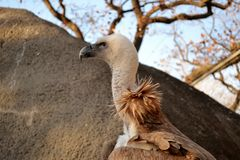 Vulture. Close up of a vulture Royalty Free Stock Photo