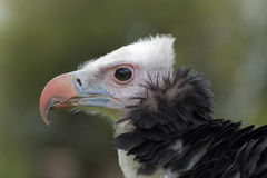 A vulture. A close up of a vulture Stock Photography