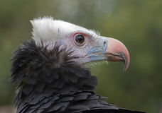 A vulture. A close up of a vulture Stock Image