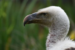 Vulture close-up facing left Stock Images