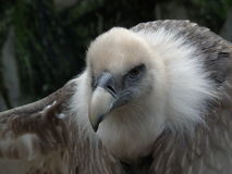 Vulture closeup Royalty Free Stock Photography