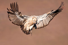 Vulture come in for landing Stock Images